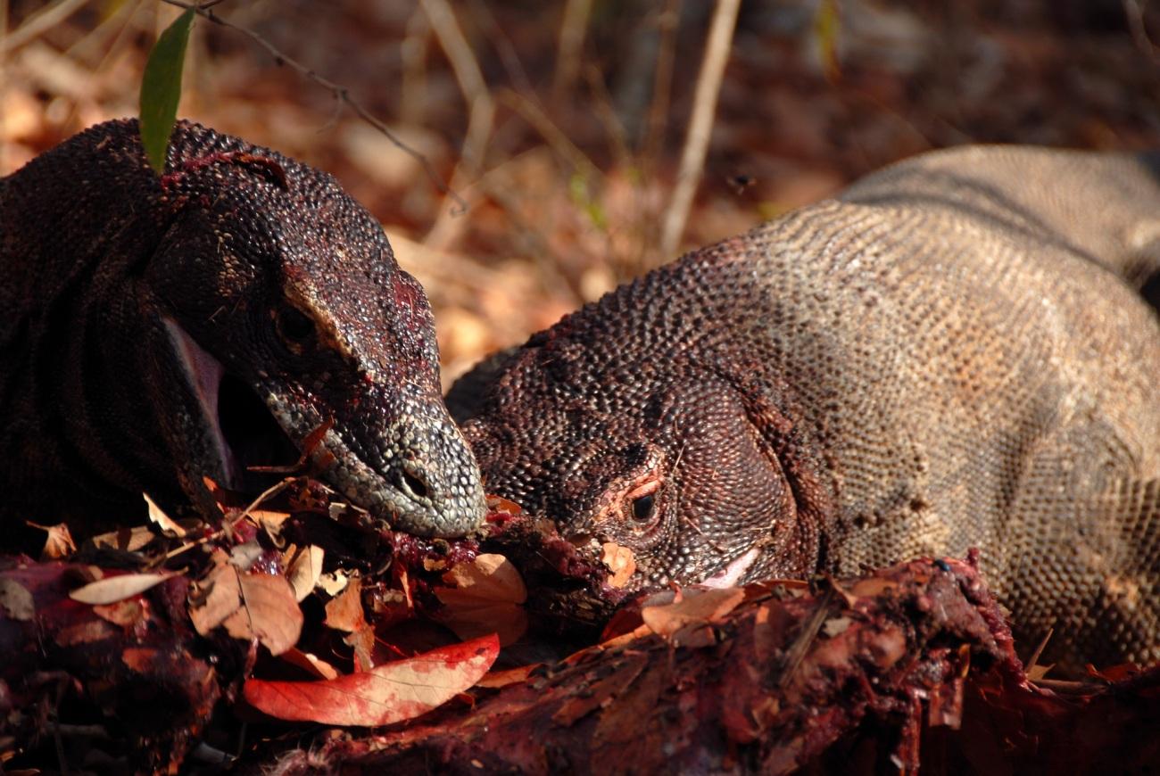 Komodo Dragons feeding© Chris Kugelman