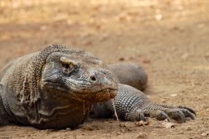 Komodo Dragon © Chris Kugelman