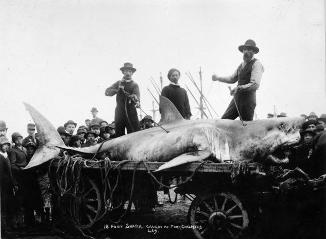 Shark caught at Port Chalmers. De Maus, David Alexander, 1847-1925 :Shipping negatives. Ref: 10x8-1669-G. Alexander Turnbull Library, Wellington, New Zealand. http://natlib.govt.nz/records/22580928