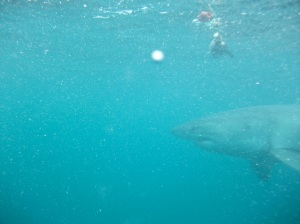 Great White Shark circling History Geek © Lemuel Lyes