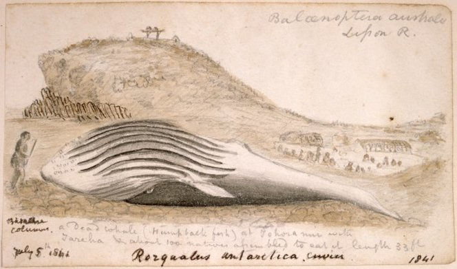 [Taylor, Richard], 1805-1873 :A dead whale (humpback fish) at Tohora nui with Tareha - about 100 natives assembled to eat it. Length 33 ft. July 5th 1841. Rorqualis antarctica. Cuvier.. Taylor, Richard, 1805-1873 :Sketchbook. 1835-1860.. Ref: E-296-q-025-1. Alexander Turnbull Library, Wellington, New Zealand. http://natlib.govt.nz/records/22867961