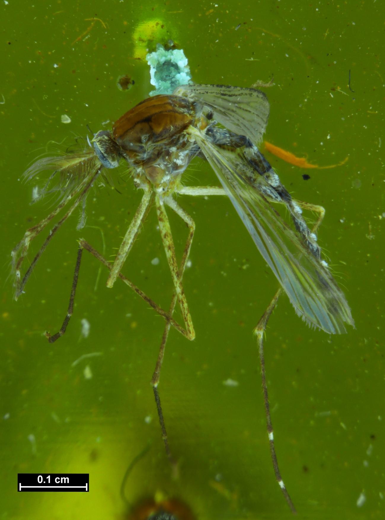 JWC Aedes antipodeus mosquito