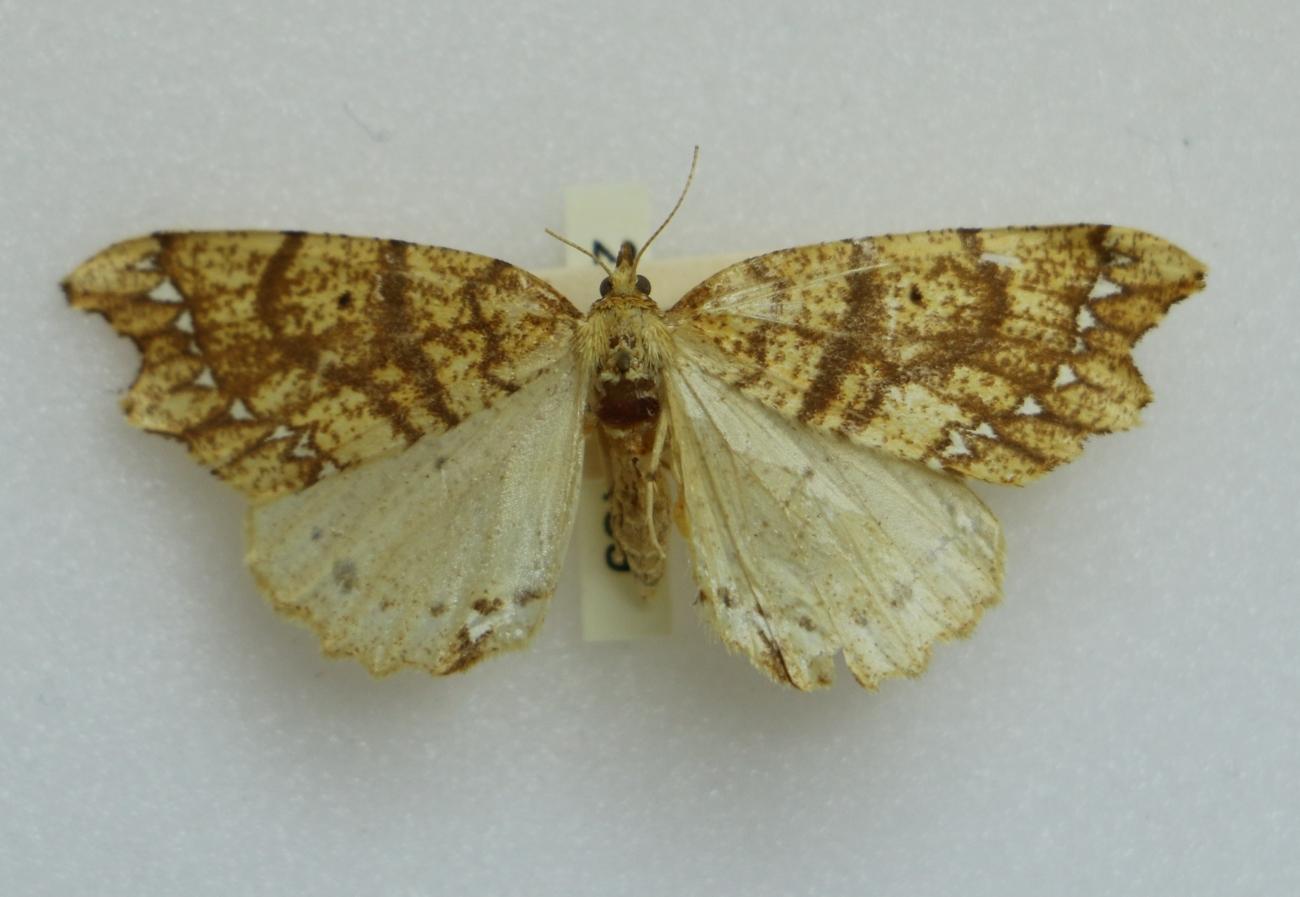 JWC moth specimen